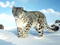 Indian Snow Leopard